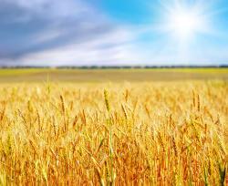 Bild zeigt ein Getreidefeld